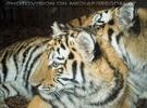 Sibirische Tiger am Abend 03