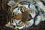 Sibirische Tiger am Abend 04