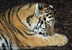 Sibirische Tiger am Abend 05