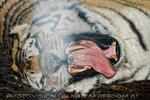 Sibirische Tiger am Abend 06