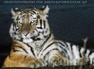 Sibirische Tiger am Abend 09
