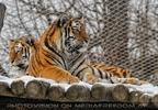 Sibirische Tiger im Schnee 01