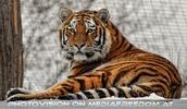 Sibirische Tiger im Schnee 03