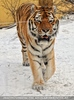 Sibirische Tiger im Schnee 05