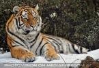 Sibirische Tiger im Schnee 06