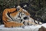 Sibirische Tiger im Schnee 07