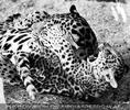Jaguarbaby spielt mit seiner Mama