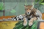 Jaguar Mama und eins ihrer Babys