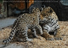 Jaguar Mama schmust mit Baby