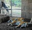 Der Panther und die schlafenden Tiger