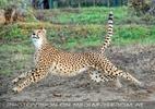Geparden Fütterung im Lauf 02