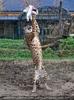 Geparden Fütterung im Lauf 04