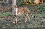 Geparden Fütterung im Lauf 05