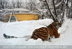Sibirischer Tiger im Schnee 01