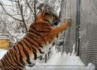 Sibirischer Tiger im Schnee 02