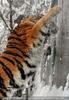 Sibirischer Tiger im Schnee 03