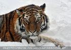 Sibirischer Tiger im Schnee 04