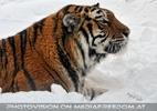 Sibirischer Tiger im Schnee 05
