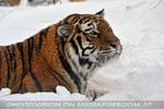 Sibirischer Tiger im Schnee 06