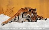 Sibirischer Tiger im Schnee 07