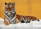 Sibirischer Tiger im Schnee 09