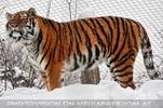 Sibirischer Tiger im Schnee 11