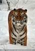 Sibirischer Tiger im Schnee 13
