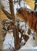 Sibirische Tiger im Schnee 14