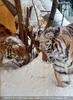Sibirische Tiger im Schnee 15