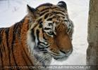 Sibirischer Tiger im Schnee 17