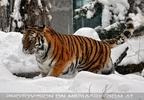 Sibirischer Tiger im Schnee 18