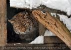 Eurasischer Luchs döst im Schneehaus
