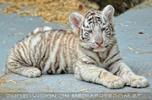 Kinderstube der weißen Tiger Drillinge 10