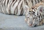 Kinderstube der weißen Tiger Drillinge 11