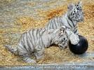 Kinderstube der weißen Tiger Drillinge 19
