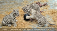 Kinderstube der weißen Tiger Drillinge 20
