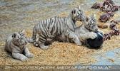 Kinderstube der weißen Tiger Drillinge 21