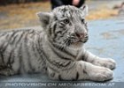 Kinderstube der weißen Tiger Drillinge 22