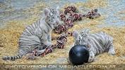 Kinderstube der weißen Tiger Drillinge 26