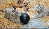 Kinderstube der weißen Tiger Drillinge 27