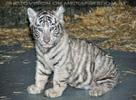 Kinderstube der weißen Tiger Drillinge 29