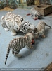 Kinderstube der weißen Tiger Drillinge 34