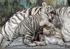 Kinderstube der weißen Tiger Drillinge 36