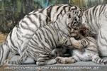 Kinderstube der weißen Tiger Drillinge 37
