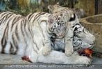 Kinderstube der weißen Tiger Drillinge 41