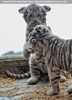 Kinderstube der weißen Tiger Drillinge 42