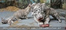 Kinderstube der weißen Tiger Drillinge 44