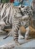 Kinderstube der weißen Tiger Drillinge 45