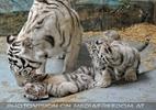 Kinderstube der weißen Tiger Drillinge 46