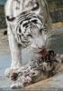 Kinderstube der weißen Tiger Drillinge 47